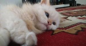 Saat di rumah, kucing bisa sangat manja dan senang menunjukkan tingkah lucu yang dapat menghibur pemiliknya.