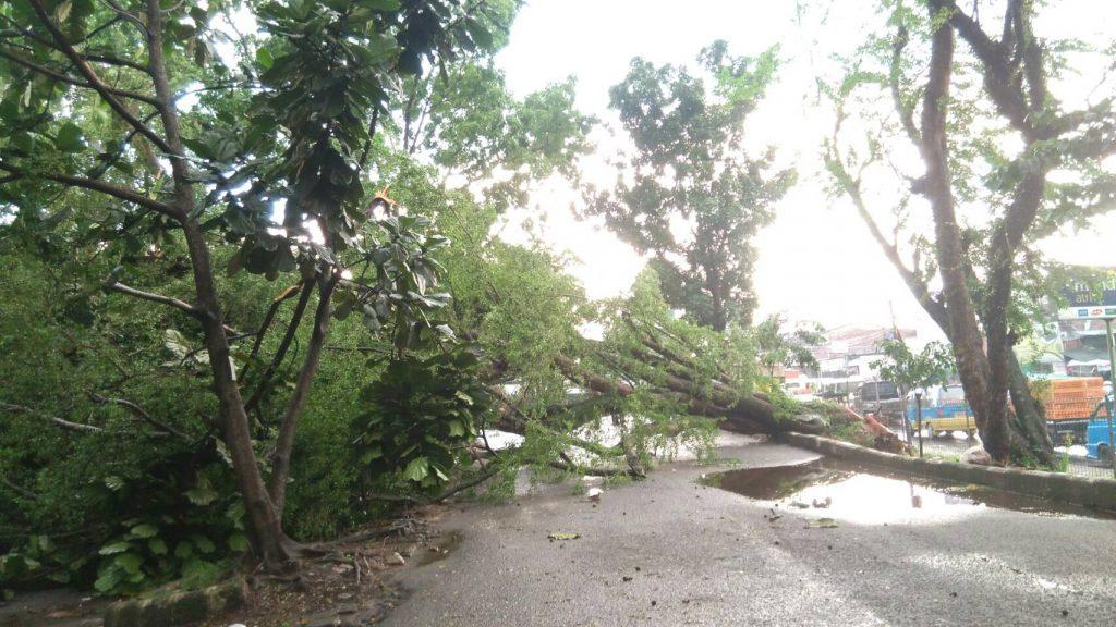 Pohon Tumbang di Dekat Pangkalan Ojek GWW (Foto oleh : Alya P)